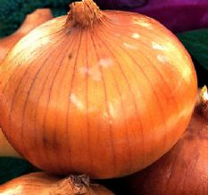 Onion F1 Toughball - Japanese Maincrop winter type
